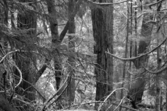 Cathedral Grove 1 BW